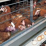 Automatic Poultry